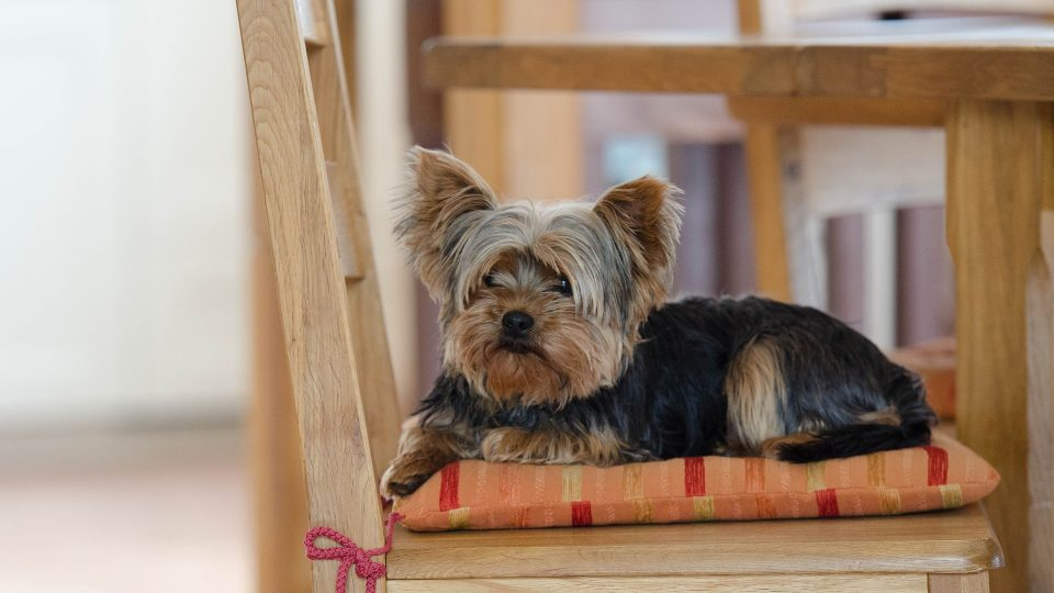 15 Best Yorkie Gifts for Yorkie Lovers