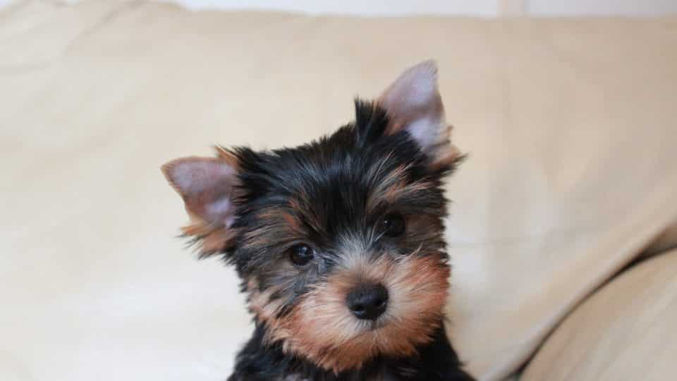 Yorkshire Terrier Puppies: Everything You Need To Know