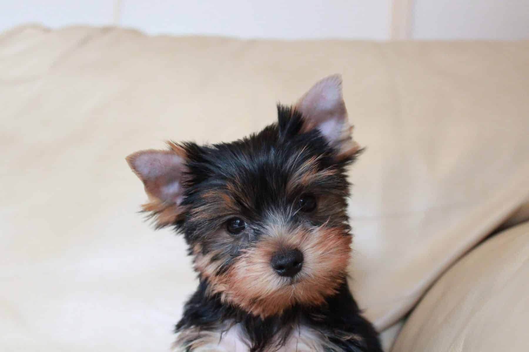 Yorkshire Terrier Puppies Everything
