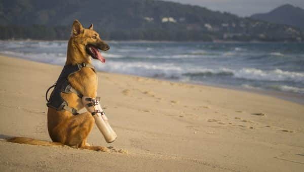 Thai Dog Rescued after Injury Is Thrilled with His New Prosthetic Legs