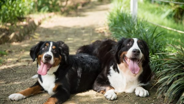 The 109 Most Popular Bernese Mountain Dog Names of 2018