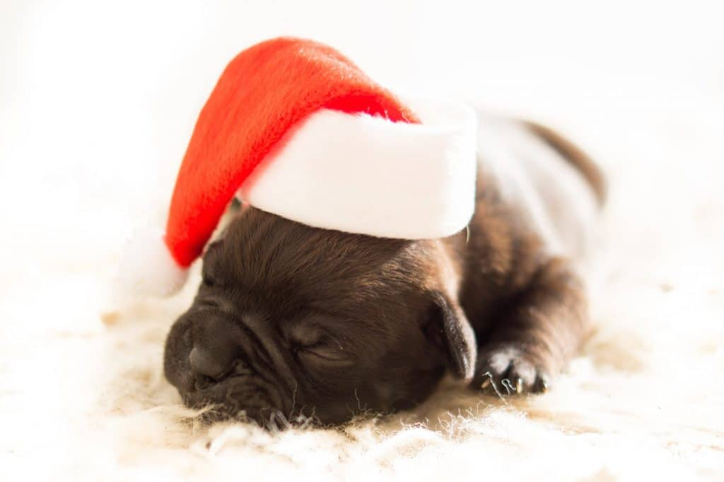 A tiny puppy sleeps while wearing a Santa hat for their first Christmas