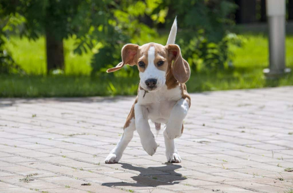 The 116 Most Popular Beagle Names Of 2019 The Dog People