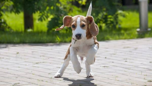 The 116 Most Popular Beagle Names of 2018