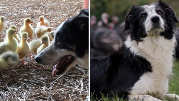 Prepare to Be Amazed by These Collies Herding Thousands of Free-Range Turkeys