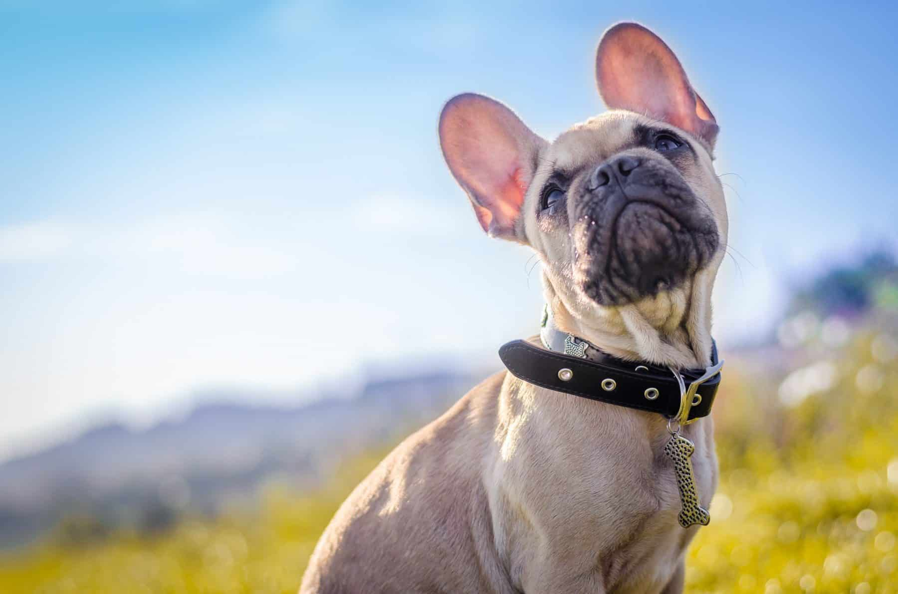 The 116 Most Popular French Bulldog Names of 2018 | The Dog