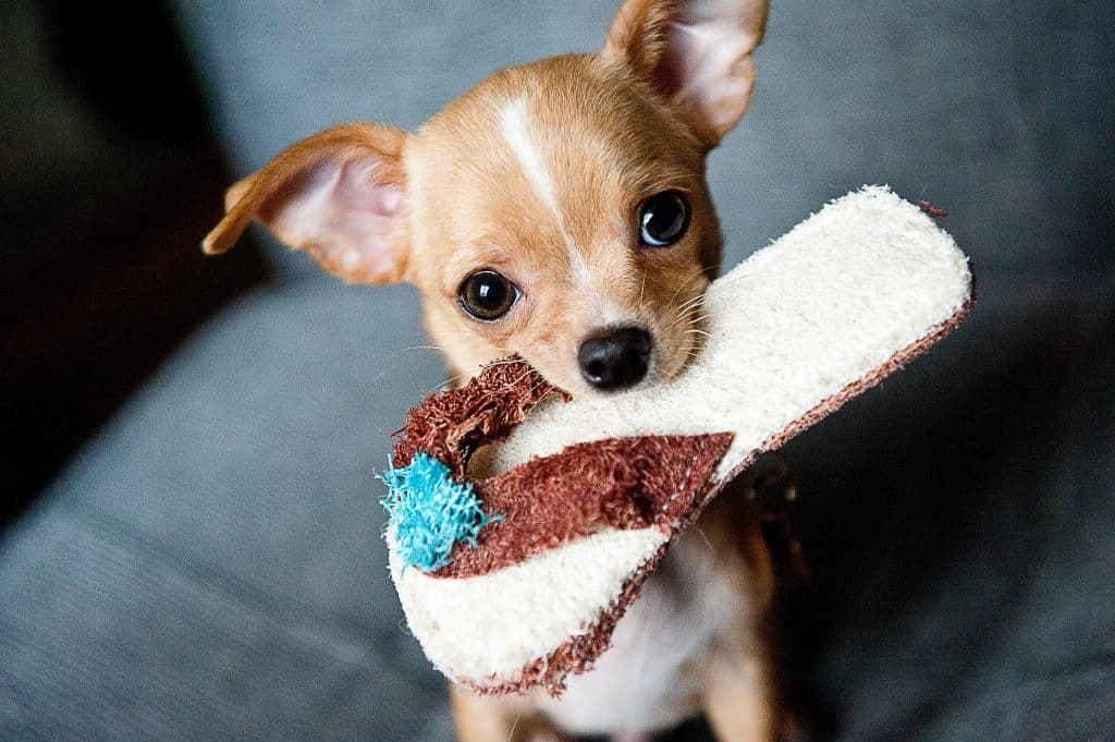 The 115 Most Popular Chihuahua Names Of 2020 The Dog People
