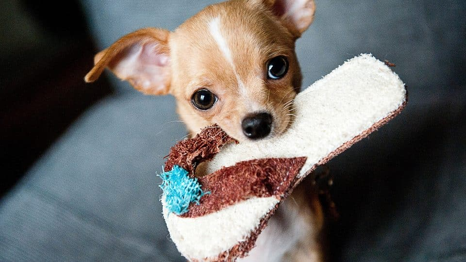 The 115 Most Popular Chihuahua Names of 2018 | The Dog
