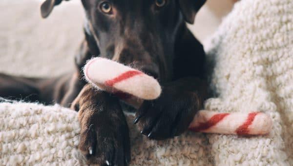 christmas labrador candy cane
