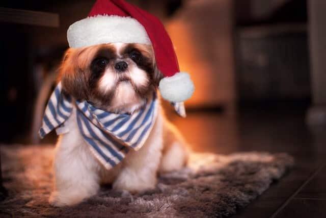 Christmas shi tzu scarf Santa hat