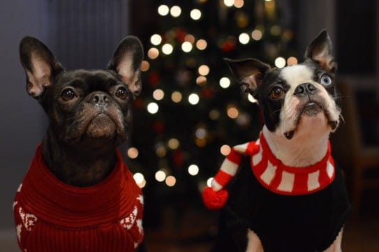 christmas sweater frenchie boston terrier