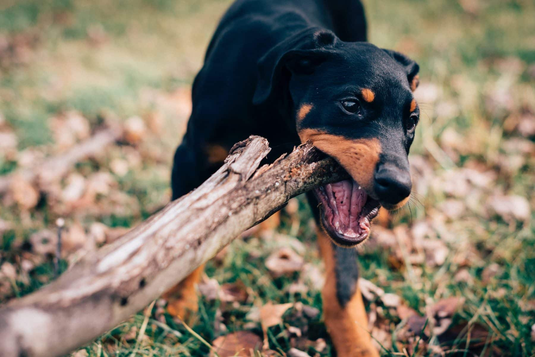 The 126 Most Popular Doberman Names Of 2020 The Dog People