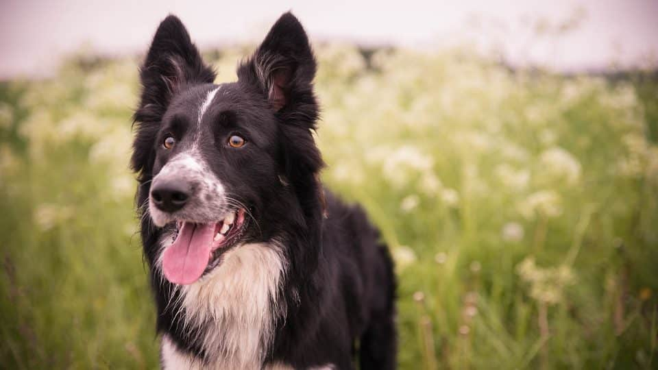 The 110 Most Popular Border Collie Names of 2018 | The Dog