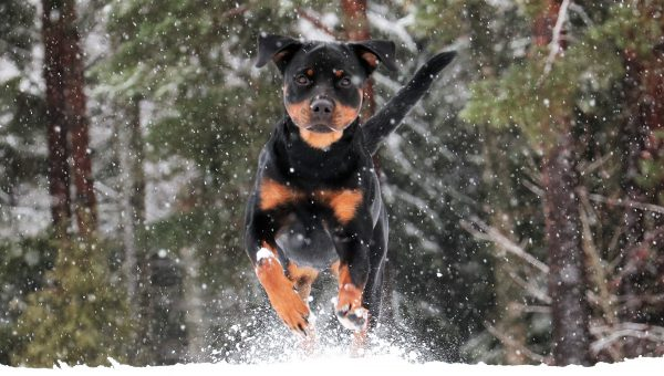 The 105 Most Popular Rottweiler Names of 2018