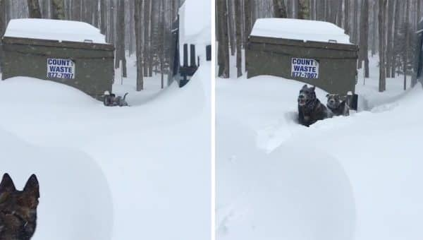 German Shepherd Saves Pit Bull from Snowdrift in Sweet Little Video