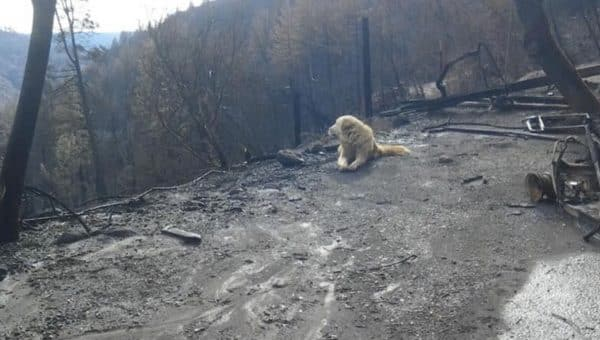 Dog Survives Wildfire and Guards Home Alone for a Month Until Mom Returns
