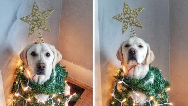 Labrador Dressed as Christmas Tree Is Definitely Ready for Santa Claus [Video]