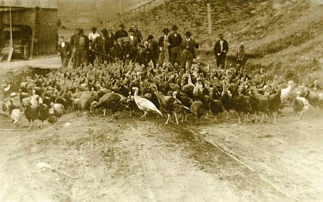 old fashioned turkey herding