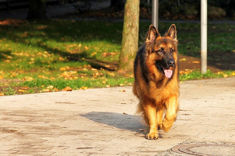 German shepherd walking on a sidewalk