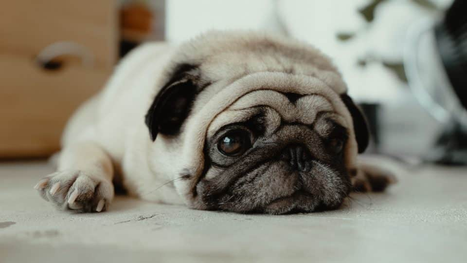 The 120 Most Popular Pug Names of 2018 | The Dog People by Rover com