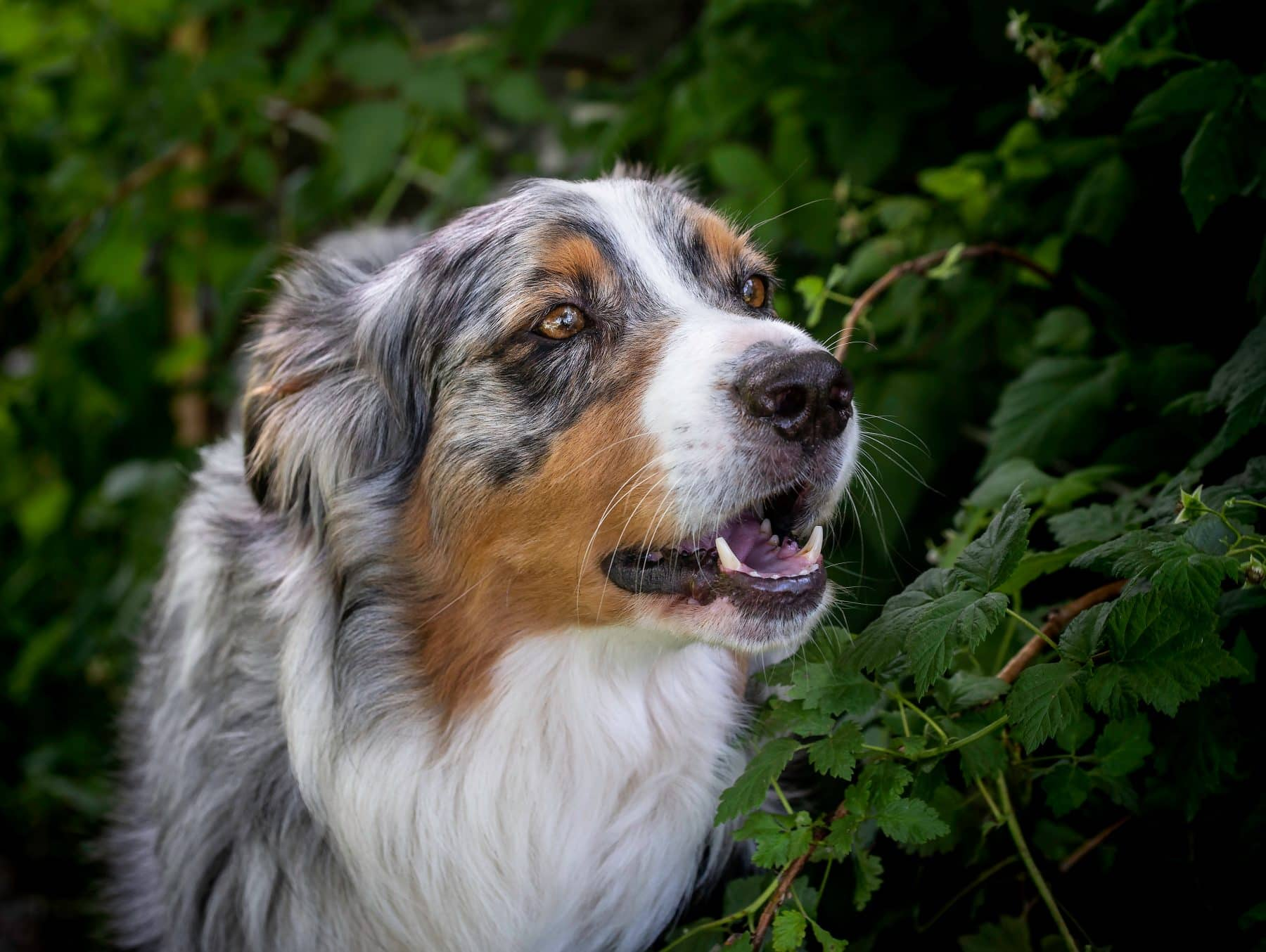 The 112 Most Popular Australian Shepherd Names of 2018 | The