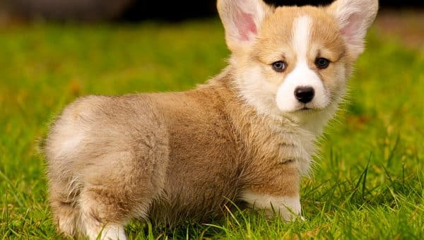 corgi puppy in the sunshine cute