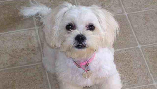 Meet the Peekapoo: Your Ultimate Guide to Peekapoo Puppies, Haircuts, and History