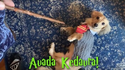 dachsund knows all commands as harry potter spells