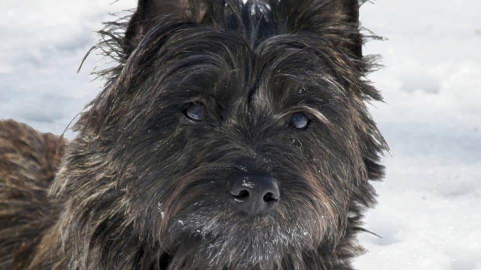 8 Facts That Cairn Terrier People Understand Better Than Anyone The Dog People By Rover Com