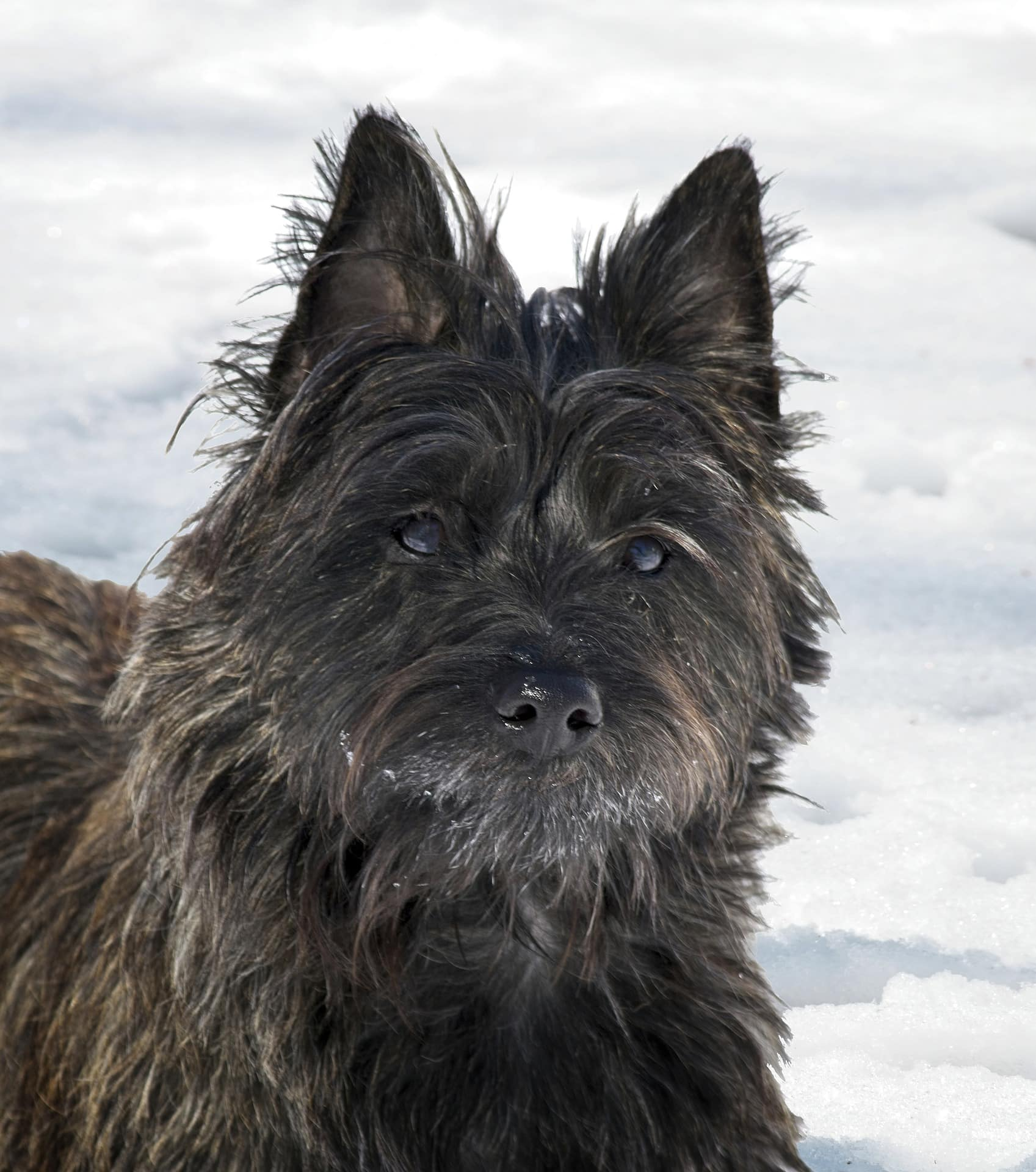 8 facts that cairn terrier people understand better than