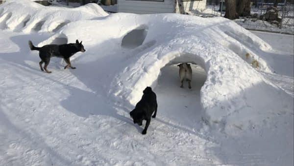 dog snow fort canada