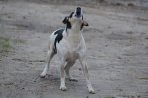 A dog barking
