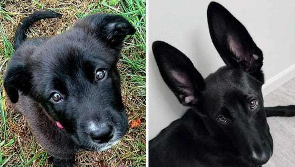 No One Guessed This 'Golden Retriever Mix' Would Grow Up to Sport 6-Inch Bat Ears