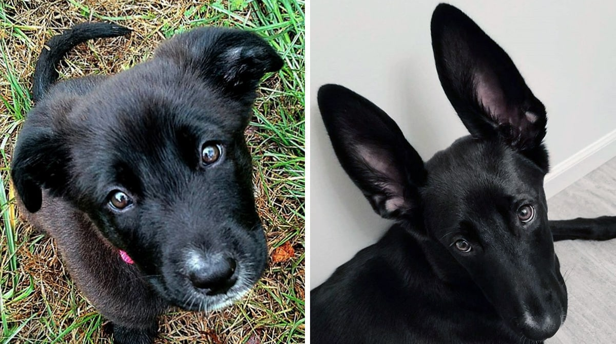 No One Guessed This Golden Retriever Mix Would Grow Up