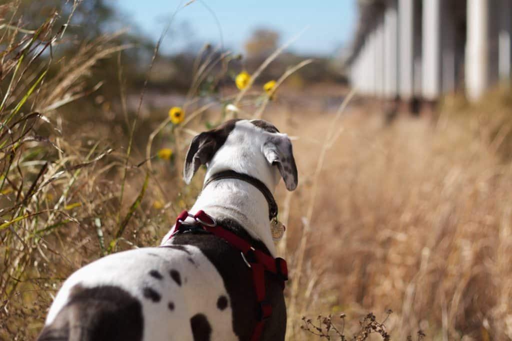 An offleash dog enjoys a field