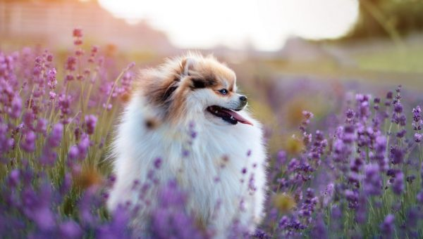 Are Essential Oils Safe for Your Dog?