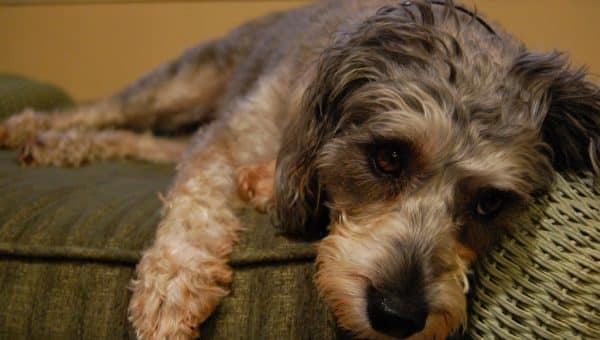 10 Things Only Schnoodle People Understand