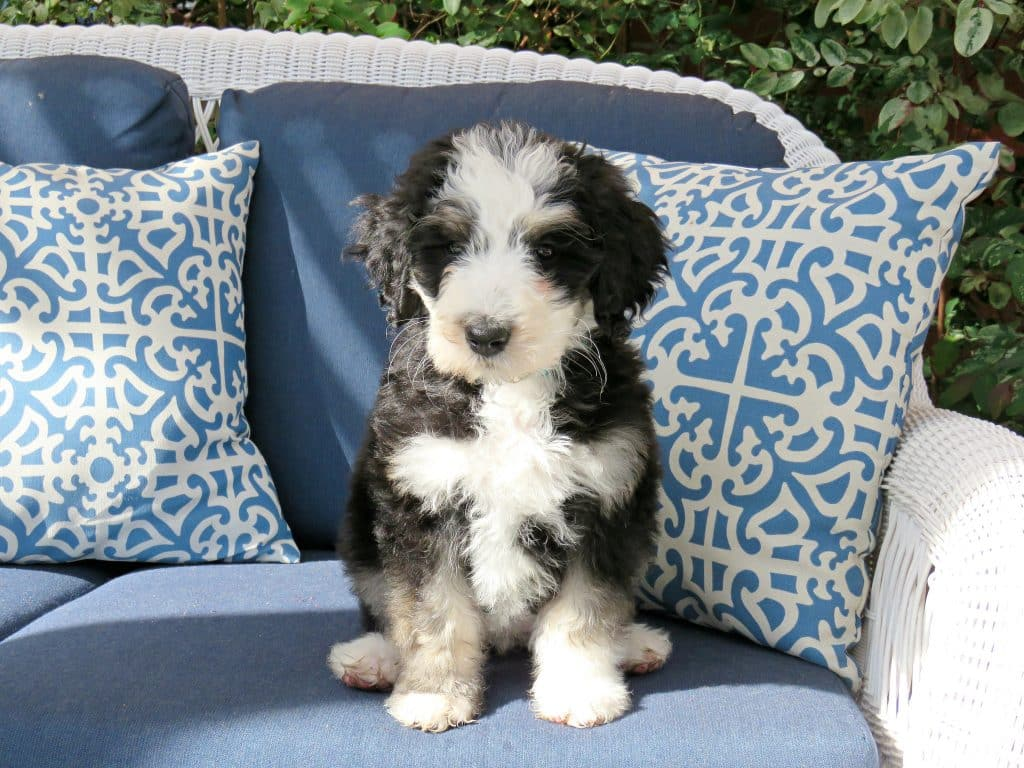 12 Facts Only Bernedoodle People Understand The Dog People