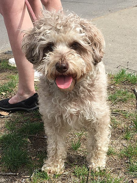 schnoodle smiling at camera with soft coat