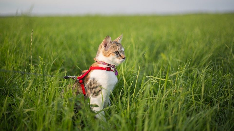 cat wearing Rabitgoo harness