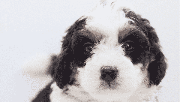 12 Facts Only Bernedoodle People Understand