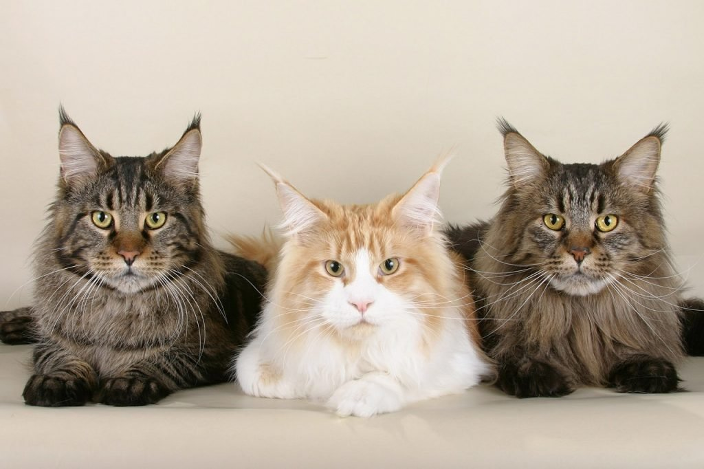 three maine coone cats, among the most affectionate cat breeds, stare at the camera