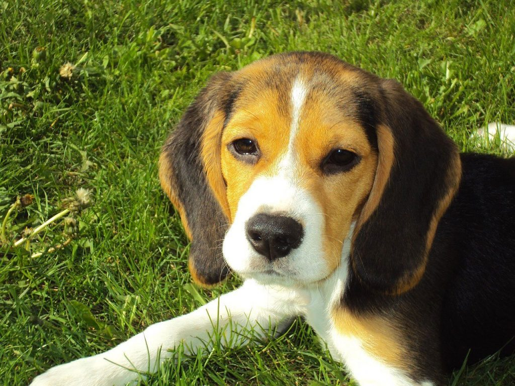 Cute beagle sitting on grass