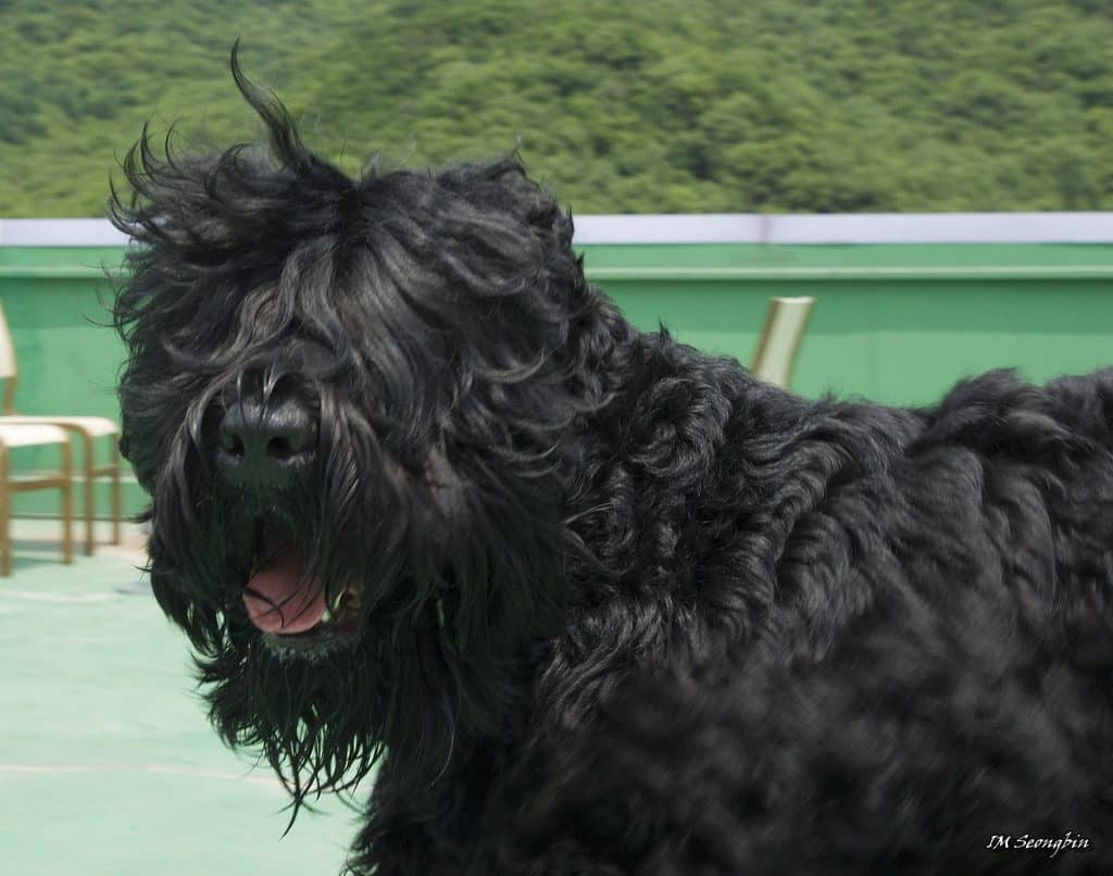 18 Giant Dog Breeds We Love The World S Biggest Dogs