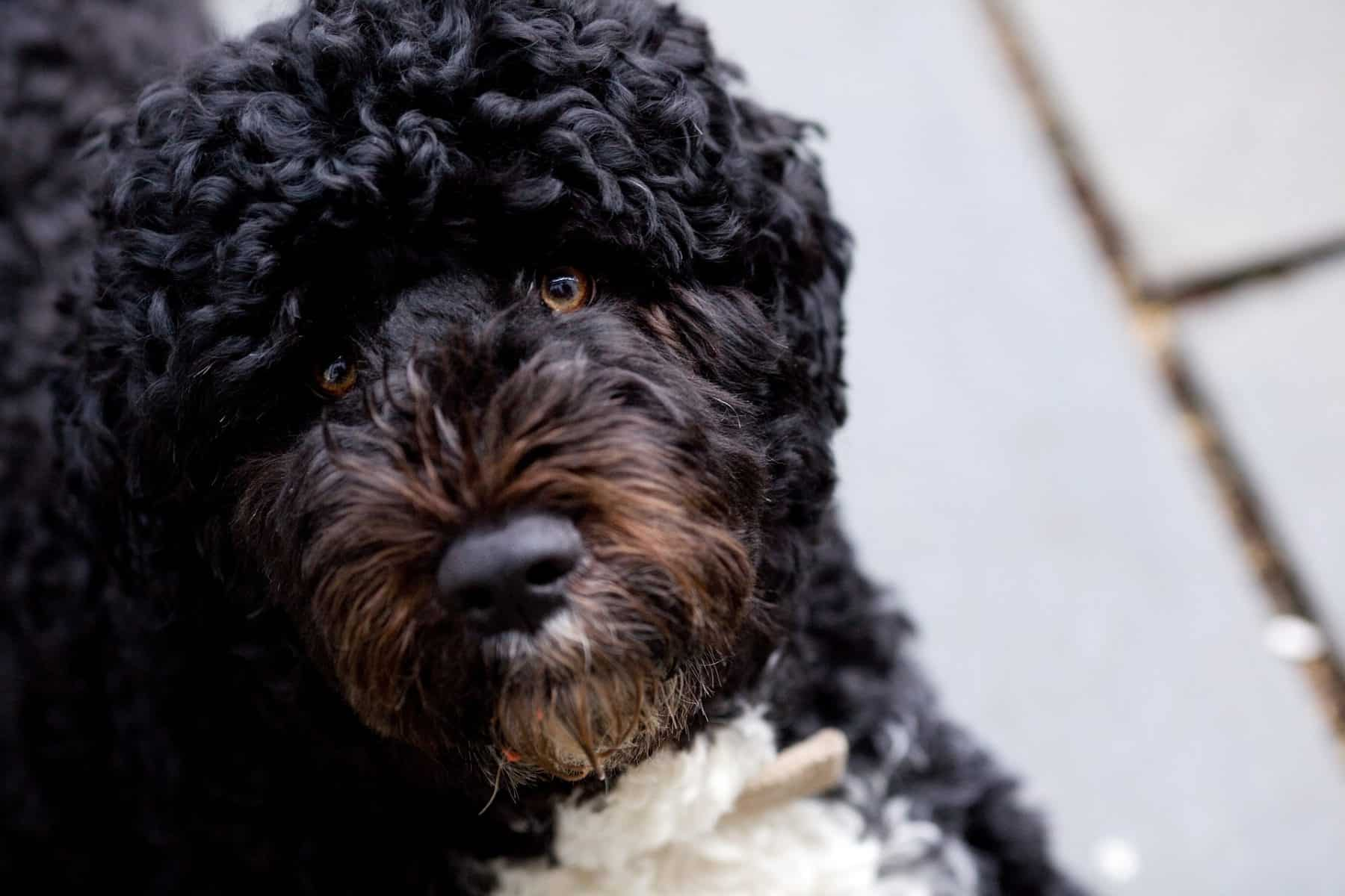 Big Dogs With Short Curly Hair 40