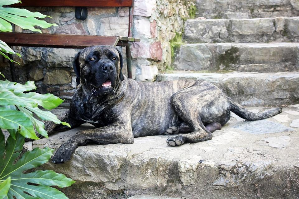 strongest dog photo cane corso