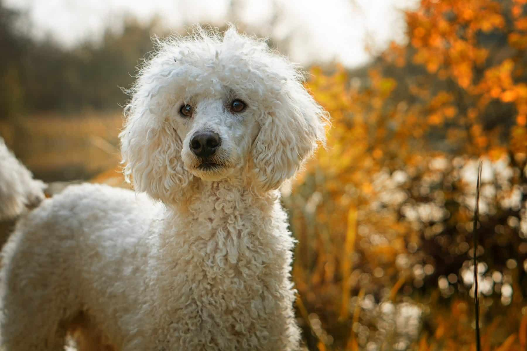 Big Dogs With Short Curly Hair 32