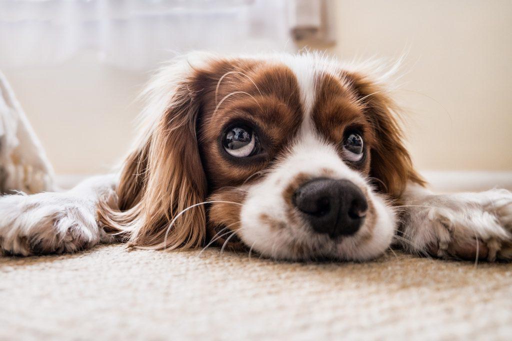 white stuff in dog's eye