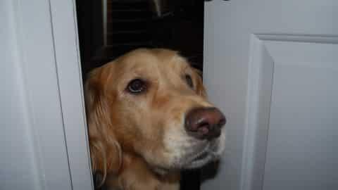 dog peeking through bathroom door following you into the bathroom