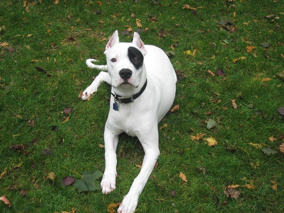 strongest dog breeds photo of a dogo argentino